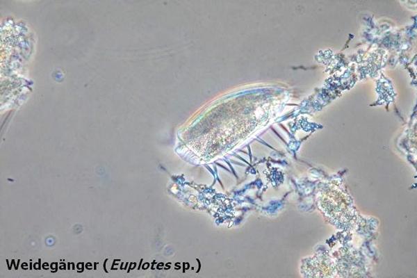 Weidegänger (Euplotes sp.)